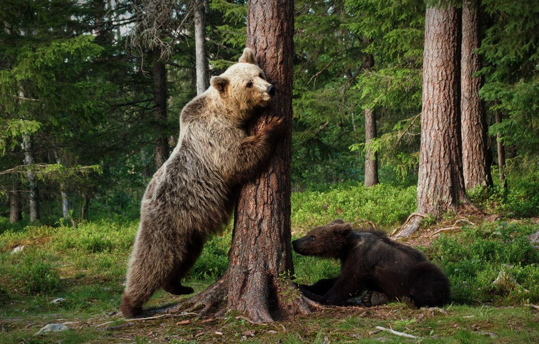 Фото обои лес, поза, дерево, медведи, пара, медвежонок, парочка, стойка, медведица, бурые