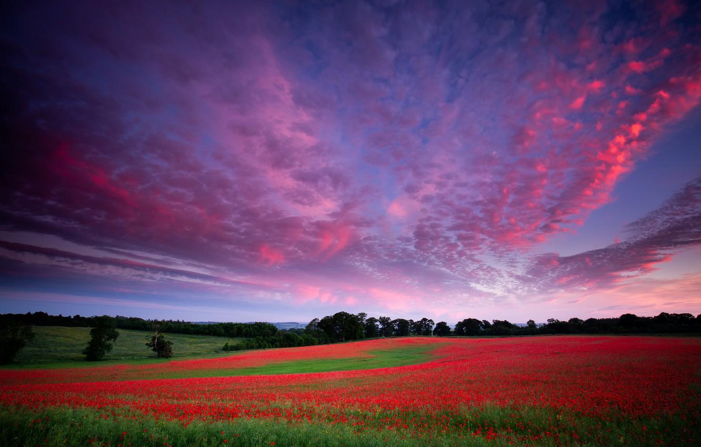 Фото обои поле, лес, лето, небо, облака, пейзаж, закат, цветы, природа, маки, луг, красные, алые, сиреневое небо, ...