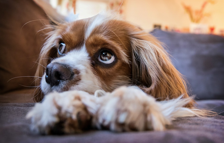 Фото обои puppy, eyes, dog, look, cavalier