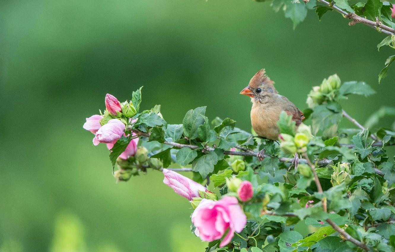 Фото обои ветки, фон, птица, птенец, цветки, гибискус, Кардинал