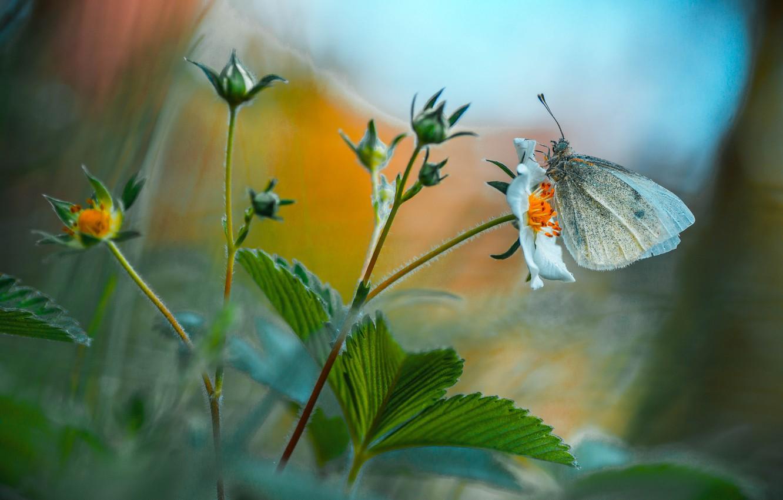 Фото обои лето, листья, макро, цветы, природа, бабочка, бутоны