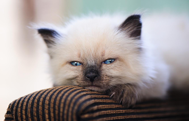 Фото обои взгляд, мордочка, носик, котёнок, голубые глазки
