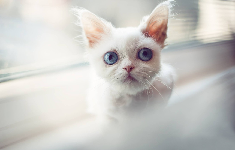 Фото обои белый, взгляд, мордочка, котёнок, голубые глаза, котейка