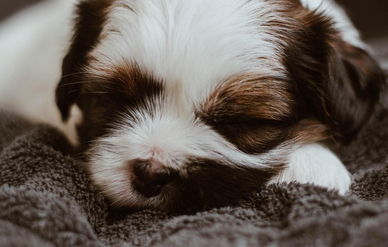 Фото обои собака, спит, щенок