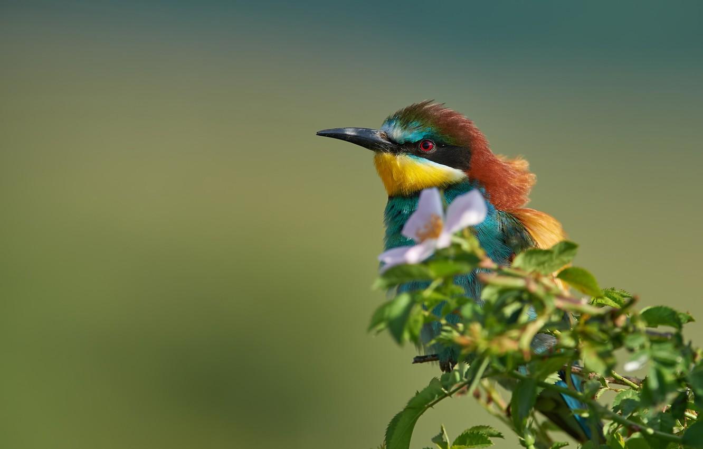 Фото обои цветок, фон, птица, ветка, шиповник, Золотистая щурка