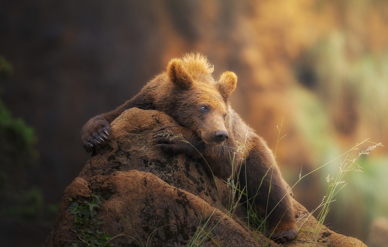 закате, россыпи картинки отдыхающий медведь менеджеры свяжутся