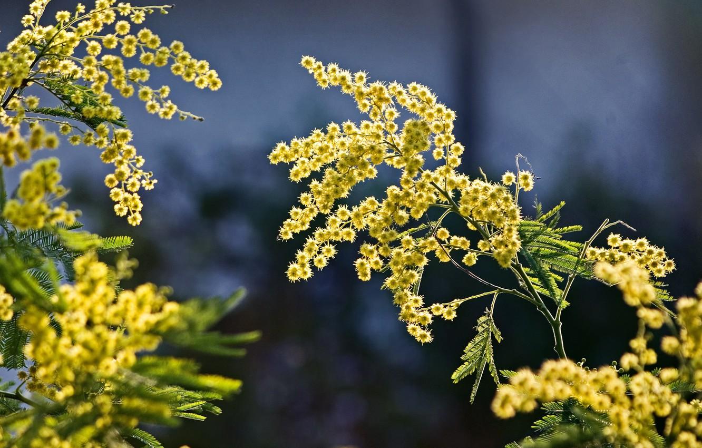Фото обои ветки, природа, весна, мимоза
