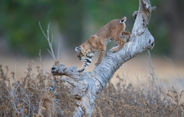Фото обои коряга, дикие кошки, рысь