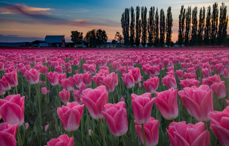Фото обои поле, деревья, закат, цветы, тюльпаны, плантация