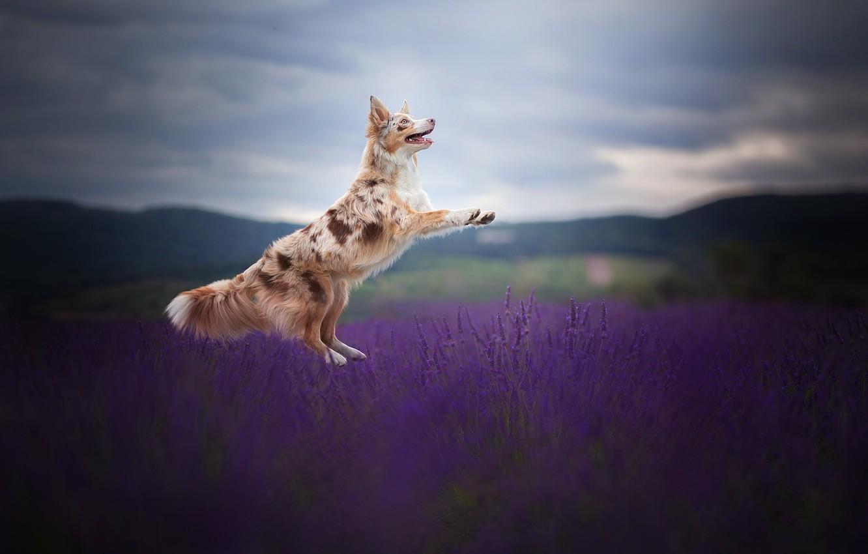 Фото обои поле, радость, прыжок, собака, лаванда, Бордер-колли