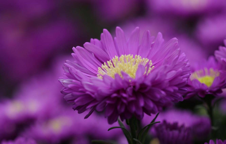 Фото обои цветок, фиолетовый, макро, астра