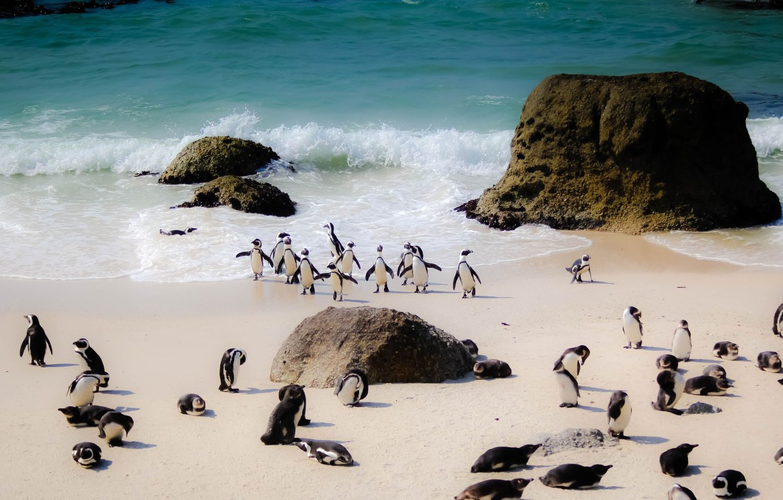Фото обои beach, sea, south africa, herd, penguins