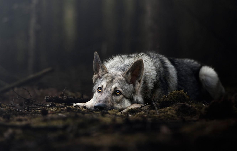 пол, которые картинки серые волки на обои художники очень ценили
