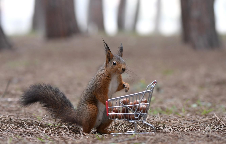 Обои орехи, покупки, тележка, Белка. Животные foto 6