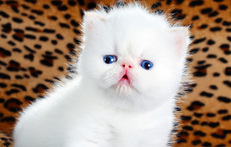Обои котёнок, голубые глазки, мордочка. Кошки foto 6