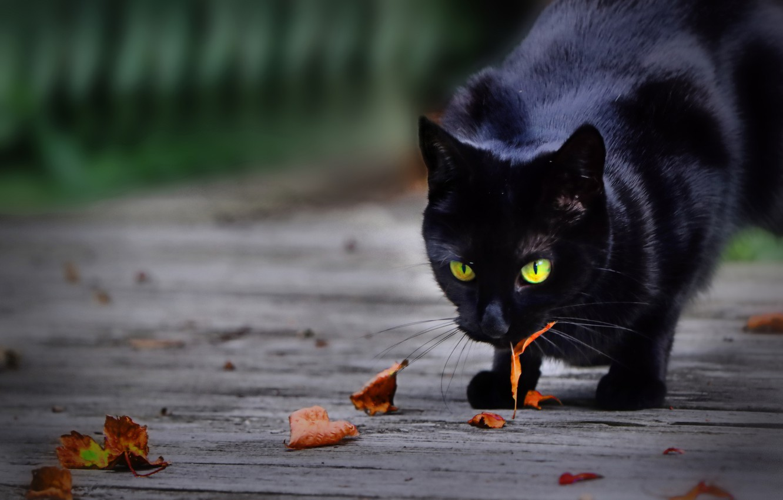 Фото обои листья, котейка, чёрная кошка