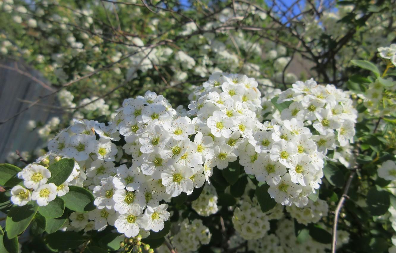 Фото обои небо, цветы, ветки, куст, белые цветочки, весна 2018, Mamala ©