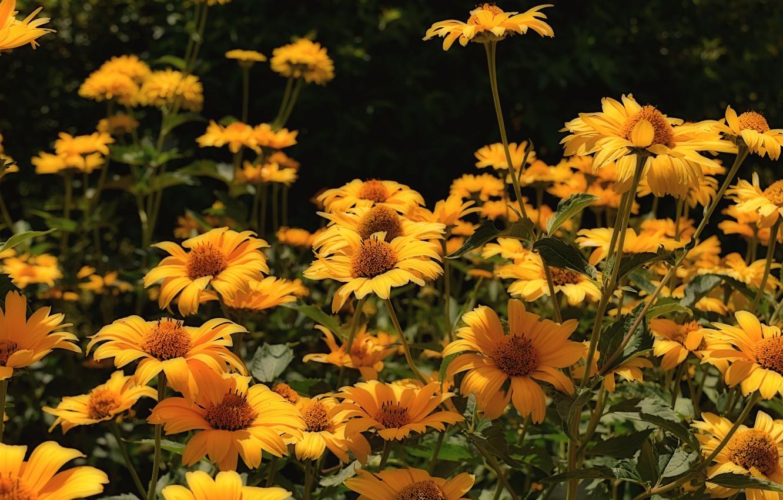 Фото обои цветы, сад, flowers, гелиопсис