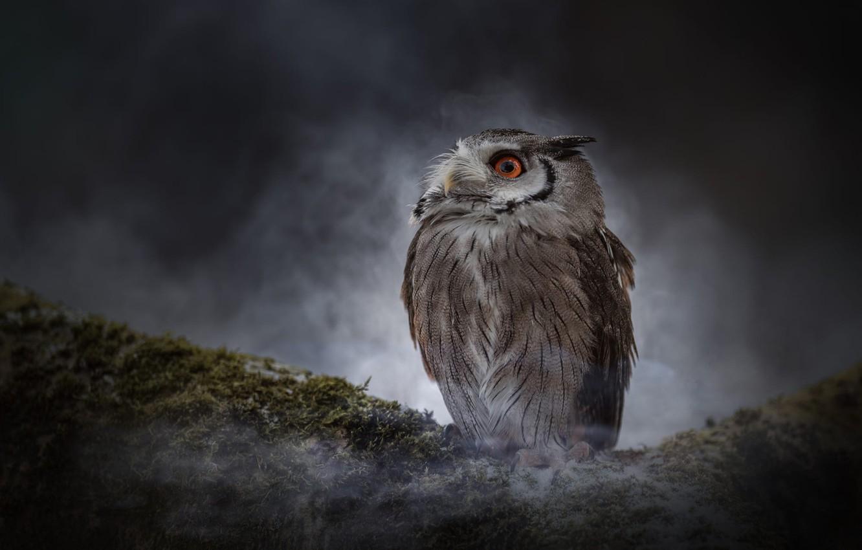 Обои туман, темнота, темный фон, сова, ночь, мох. Животные foto 15
