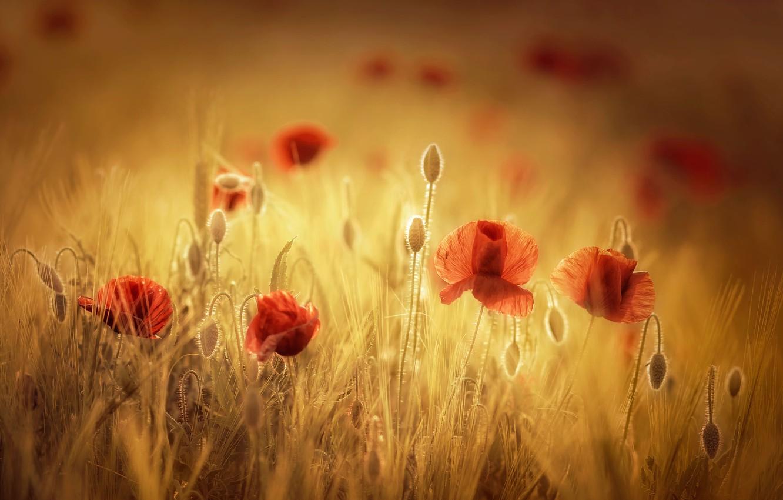 Фото обои поле, лето, цветы, маки