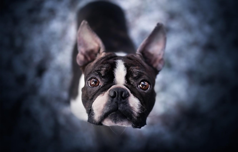Фото обои взгляд, морда, собака, боке, Бостон-терьер