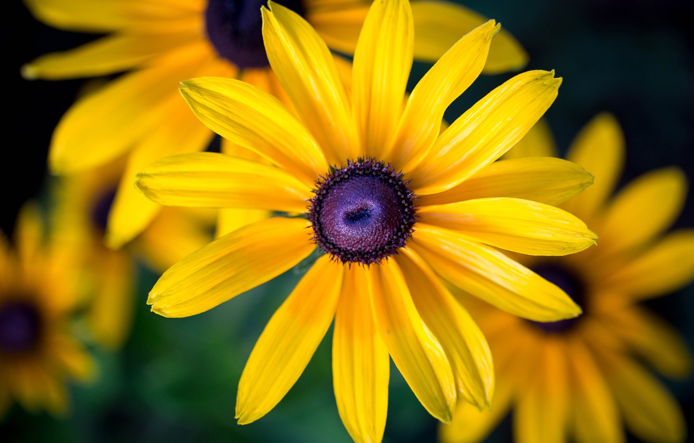 Фото обои цветок, макро, цветы, желтый, желтые, рудбекия