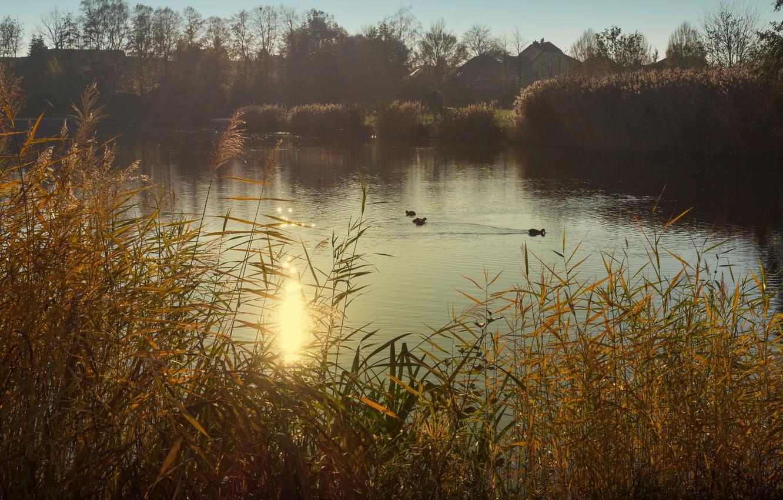 Фото обои трава, птицы, туман, озеро, пруд, берег, утки, утро, домики, водоем