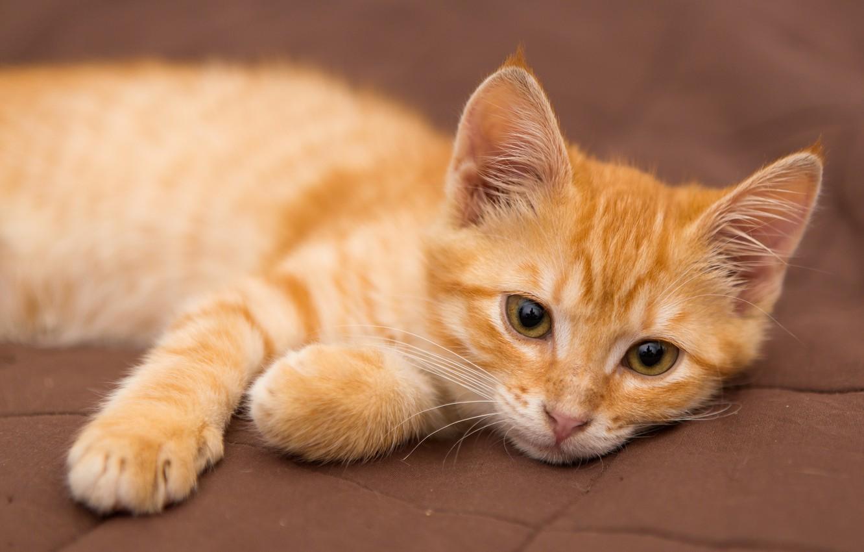 Фото обои кошка, кот, животное, рыжий, котёнок