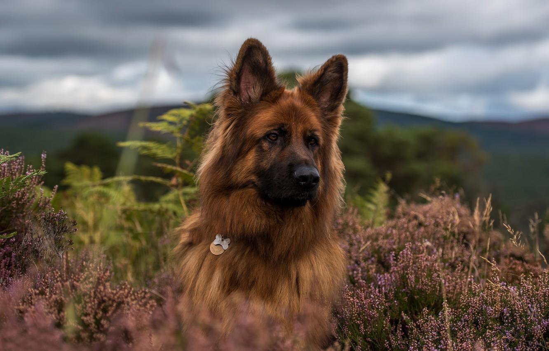 Фото обои морда, собака, вереск, Немецкая овчарка