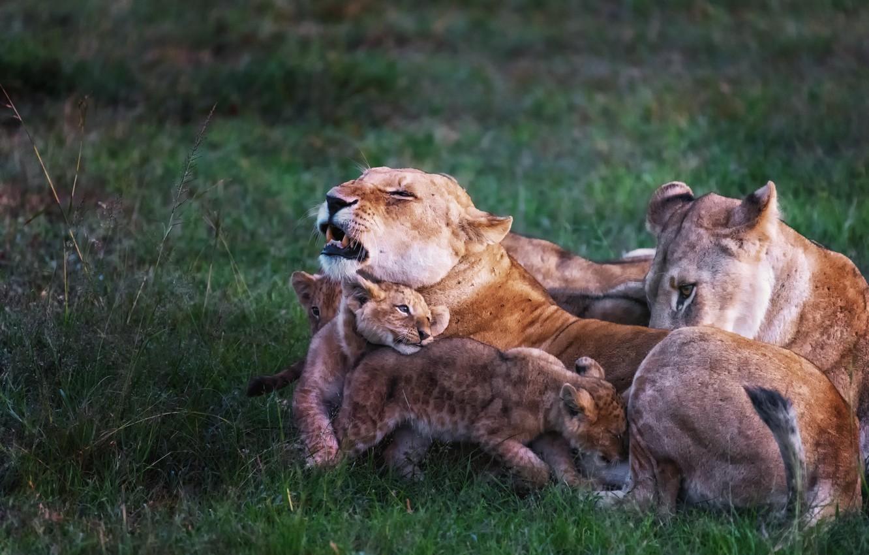 Фото обои природа, львы, Family story