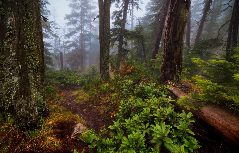 Фото обои лес, деревья, природа, туман, Александр Плеханов