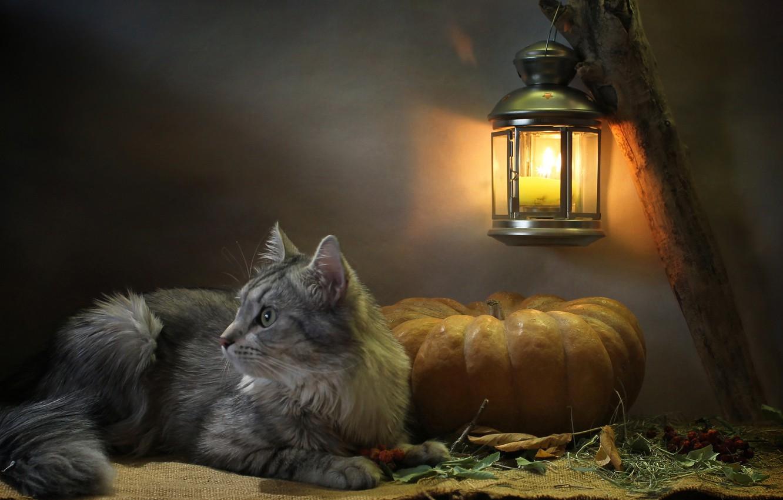 Фото обои кошка, кот, взгляд, листья, свет, животное, свеча, фонарь, тыква, профиль, мешковина, Ковалёва Светлана, Светлана Ковалёва