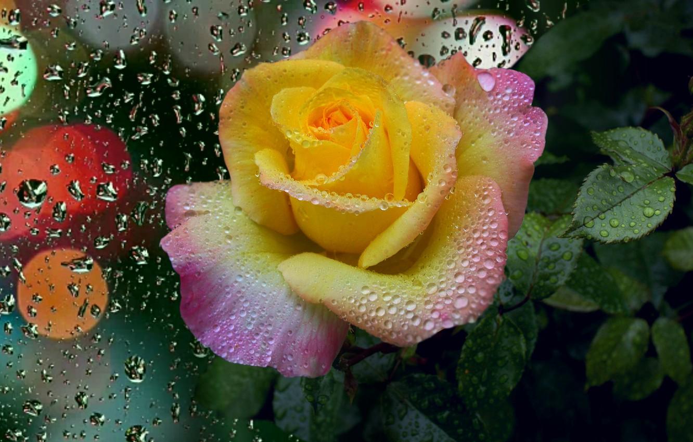 Фото обои капли, роса, Роза