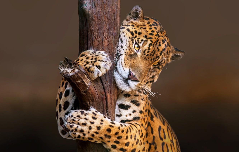 Фото обои природа, животное, хищник, ягуар, ствол