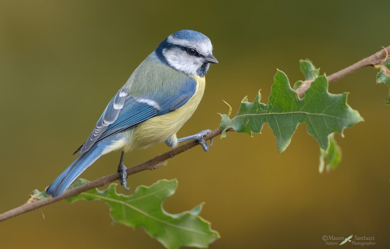 Фото обои листья, птица, синица