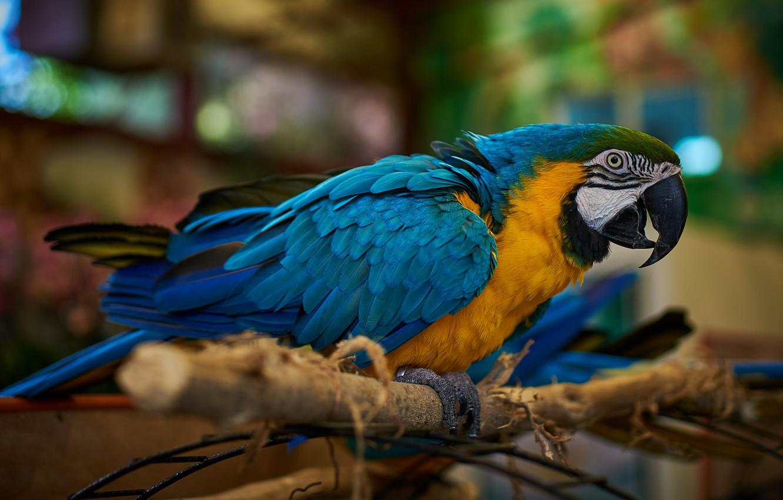 Фото обои фон, птица, ветка, попугай, боке, ара