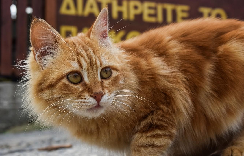 Фото обои кот, фон, пушистый, рыжий, боке
