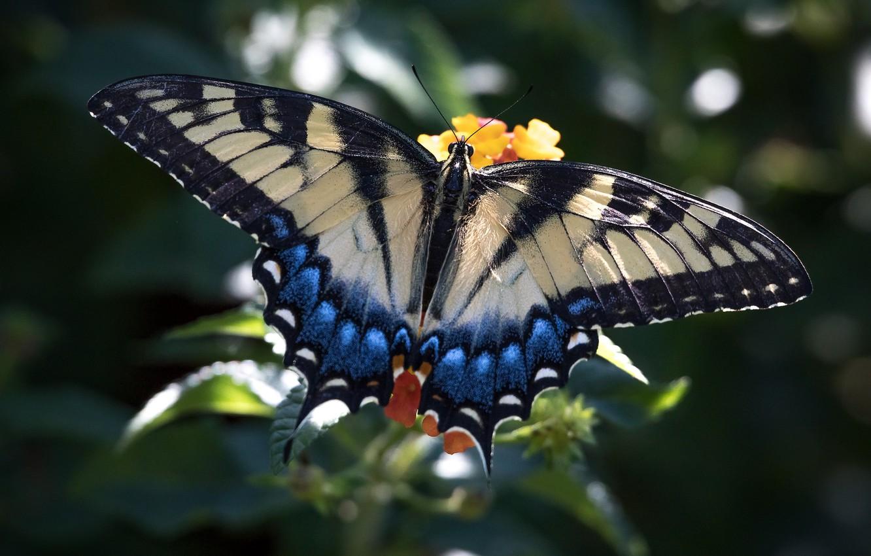 Фото обои бабочка, крылья, красавица, махаон