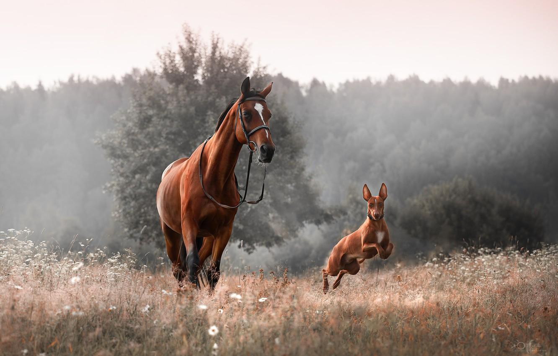 Фото обои животные, трава, природа, туман, конь, собака, утро, пёс