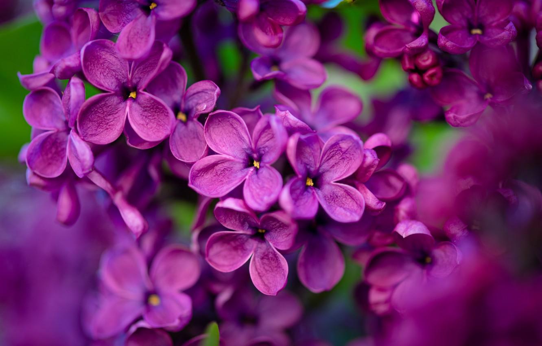 Фото обои макро, цветки, сирень