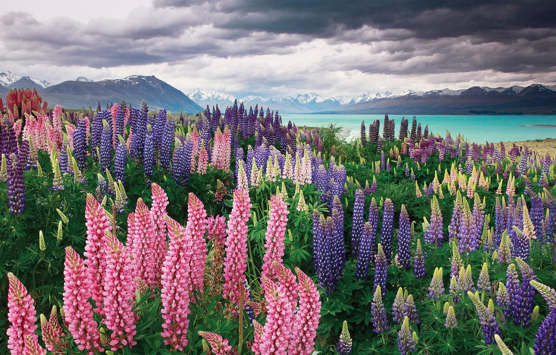 Фото обои горы, озеро, Новая Зеландия, New Zealand, Текапо, люпины, Sarah Sisson