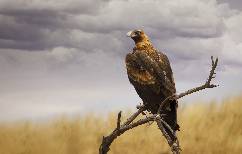 Фото обои небо, птица, орел, ветка