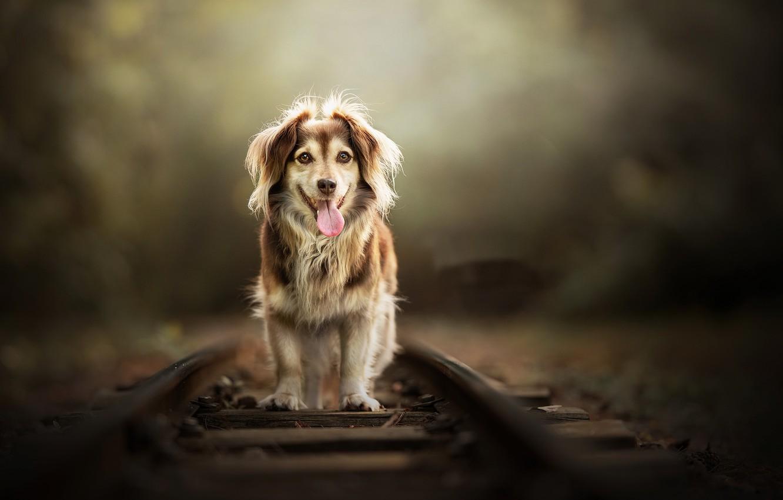 Фото обои друг, собака, железная дорога