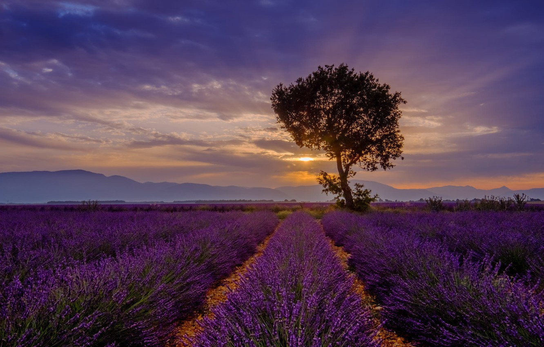 Фото обои лето, небо, облака, лучи, закат, цветы, горы, туман, дерево, вечер, лаванда, плантация, лавандовое поле
