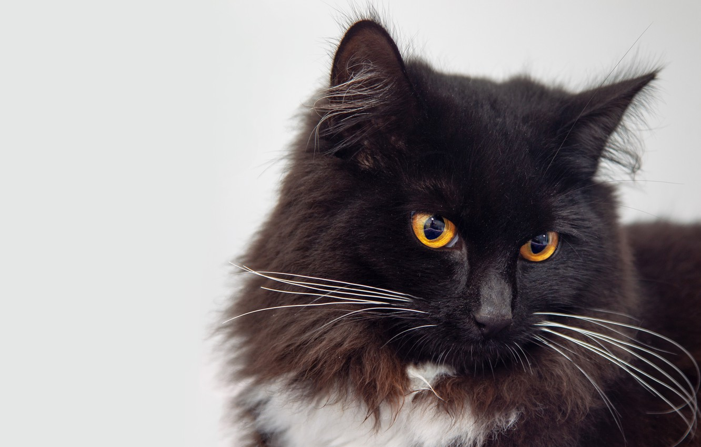 Пушистые черно белые кошки на фото
