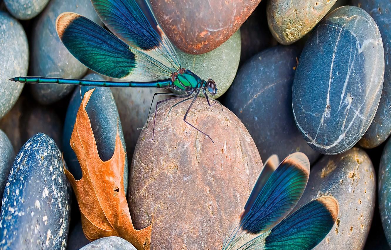 Фото обои scene, insect, pebbles, dragonflies