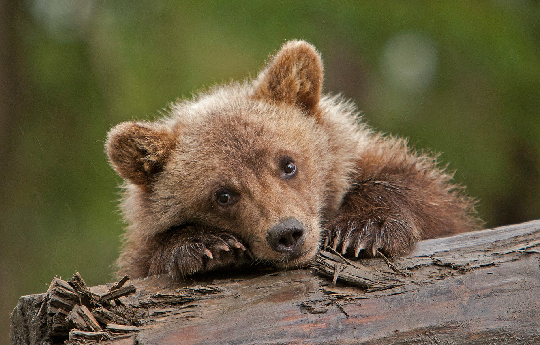 Фото обои взгляд, медвежонок, бревно, детёныш, мордашка, гризли