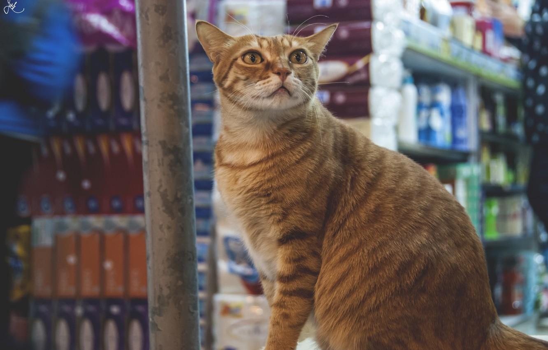 Фото обои глаза, кот, взгляд, шерсть, рыжий