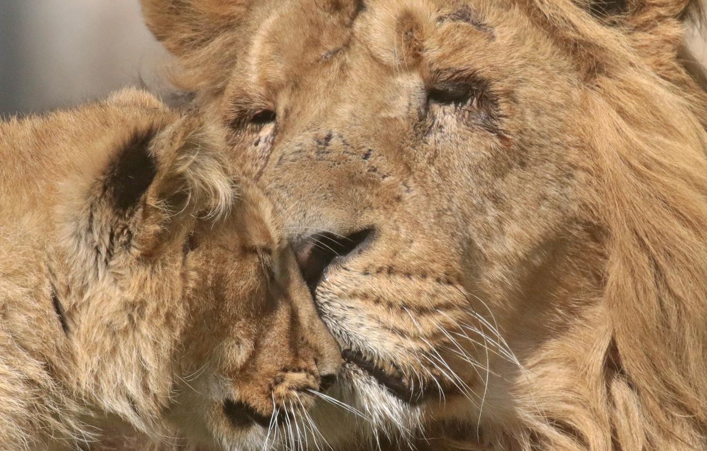Тебе, картинки лев и львица любовь