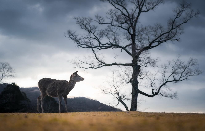 Фото обои Japan, Deer, Nara Park